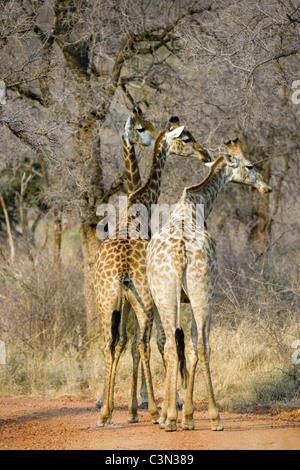South Africa, Near Zeerust, Madikwe National Park. Giraffes, Giraffa camelopardalis. - Stock Photo