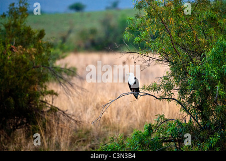 South Africa, Pilanesberg National Park Mankwe hide African Fish-Eagle, Haliaeetus vocifer, perched on branch - Stock Photo