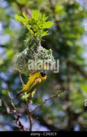 Pilanesberg National Park Mankwe Southern Masked-Weaver, Ploceus velatus Couple, male and female, preparing nest - Stock Photo