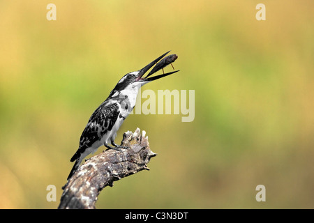 South Africa, near Rustenburg, Pilanesberg National Park. Mankwe Hide. Pied Kingfisher. (Ceryle rudis) with fish. - Stock Photo
