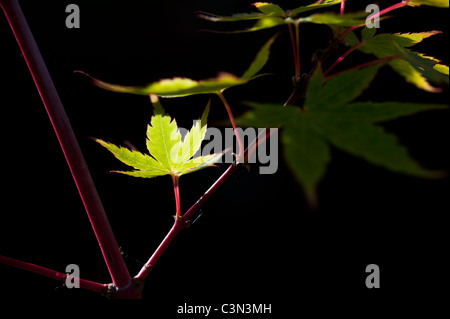 Acer palmatum sango kaku. Japanese Maple tree leaves against a dark background - Stock Photo