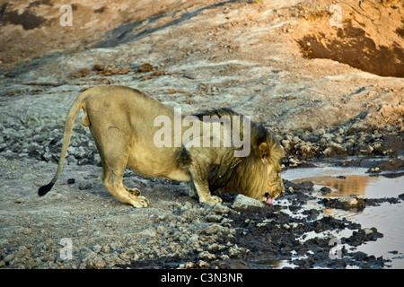 South Africa, Near Zeerust, Madikwe National Park . Lion, Panthera leo, drinking. - Stock Photo