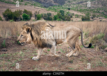 South Africa, Near Zeerust, Madikwe National Park . Lion. (Panthera leo). Male. - Stock Photo