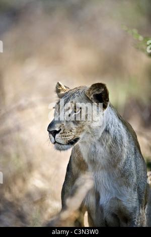 South Africa, Near Zeerust, Madikwe National Park . Female lion, lioness. (Panthera leo). - Stock Photo