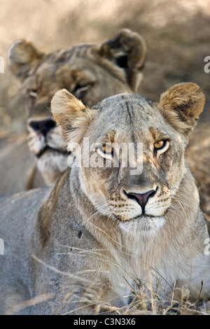 South Africa, Near Zeerust, Madikwe National Park . Two female lions, lioness. (Panthera leo). - Stock Photo