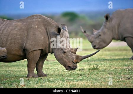 South Africa, Near Zeerust, Madikwe National Park. Two white rhinoceros, Ceratotherium simum. - Stock Photo