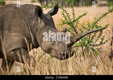 South Africa, near Rustenburg, Pilanesberg National Park. White rhinoceros, Ceratotherium simum. - Stock Photo