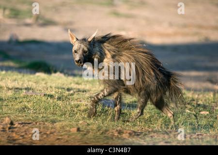 South Africa, Near Zeerust, Madikwe National Park. Brown hyena. (Hyaena brunnea, formerly Parahyaena brunnea0. - Stock Photo