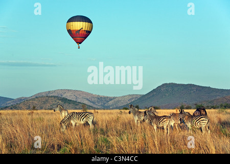 South Africa, near Rustenburg, Pilanesberg National Park. Herd of Burchell's Zebras, Equus burchelli). Balloon. - Stock Photo