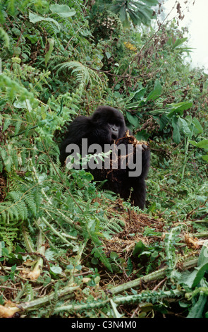 Mountain gorilla (Gorilla gorilla berengei) eating root that it has pulled out of the ground, Parc National des - Stock Photo