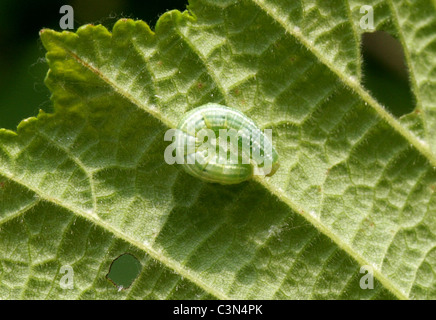 Winter Moth Caterpillar, Operophtera brumata, Geometridae. Feeding on a Hazel Leaf. - Stock Photo