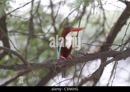 white throated kingfisher perched on branch - Stock Photo