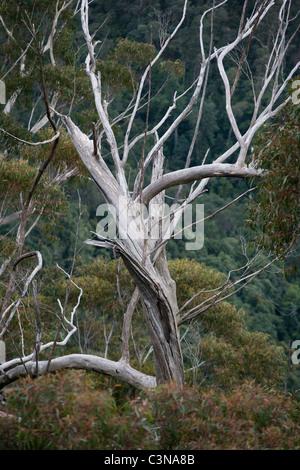 Bark peeling from Eucalyptus gum tree. New South Wales, Australia - Stock Photo