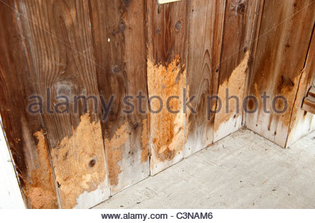country home cedar siding rodent Caviomorpha pest destructive animal - Stock Photo