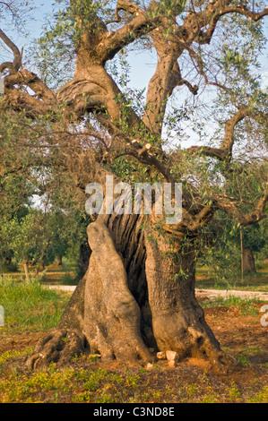 Old Olive Tree (Olea europaea) at Olive Yard near Lecce, Apulia (Puglia), Southern Italy - Stock Photo