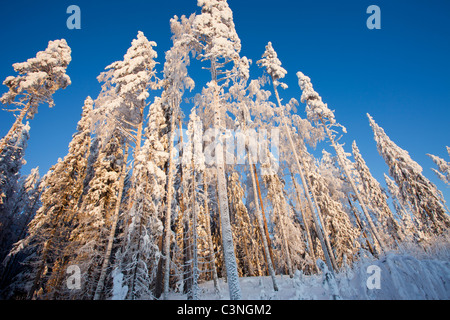 Snow covered pine ( pinus sylvestris ) treetops at winter , Finland - Stock Photo