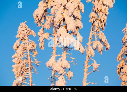 Snow covered pine ( pinus sylvestris ) treetops at winter - Stock Photo
