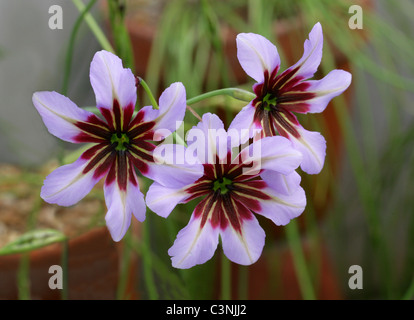 Glory of the Sun, Leucocoryne purpurea x violascens, Alliaceae, Chile, South America. - Stock Photo