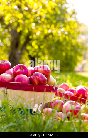 Baskets of freshly picked red apples in the grass during fall season - Stock Photo