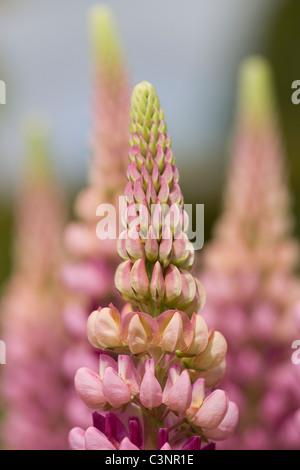 Lupinus polyphyllus Shallow DOF - Stock Photo