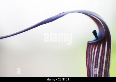 Arisaema Concinnum. Chinese cobra lily / Jack in the Pulpit flower - Stock Photo