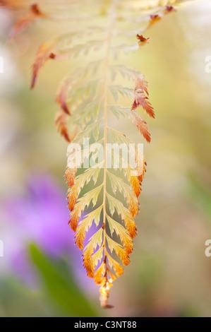 Polystichum Setiferum 'Pulcherrimum 'bevis'. Soft shield fern frond - Stock Photo