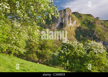 Thor's Cave with hawthorn trees in blossom, Manifold Valley, Staffordshire Moorlands, Peak District National Park, - Stock Photo