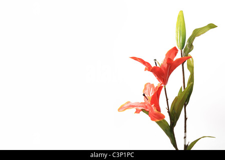 Orange yellow tiger lily flowers on white background - Stock Photo