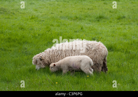 Cotswold ( Lion ) ewe / sheep and lamb - grazing in long grass. Cotswolds, UK - Stock Photo