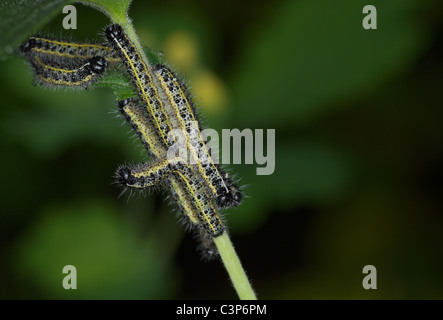 Close-up of Large White (Pieris brassicae) caterpillar group devouring a plant, spring season. - Stock Photo