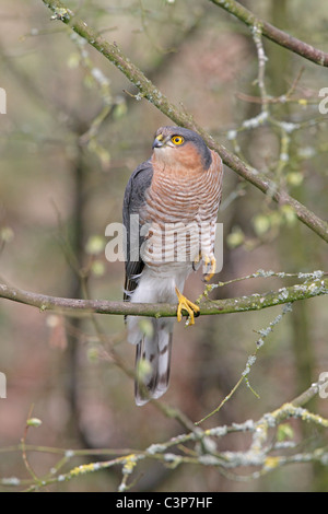 Male Eurasian Sparrowhawk perched in tree - Stock Photo