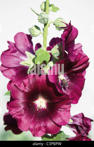 Bee collecting pollen from hollyhock flower, close up - Stock Photo