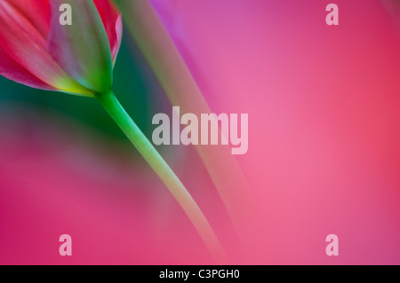 Germany, Tulip (Tulipa) close-up - Stock Photo