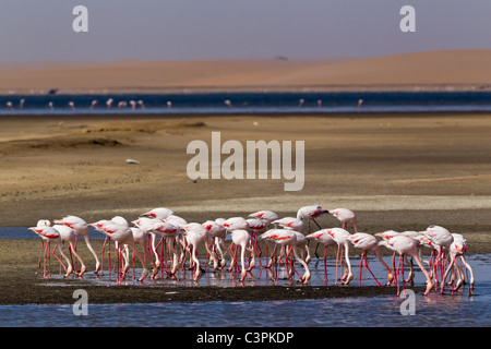 Africa, Namibia, Namib Desert, Atlantic Ocean, Walvis Bay, Flock of greater flamingo in sea - Stock Photo