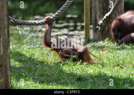 Orangutan baby playing around in the zoo - Stock Photo