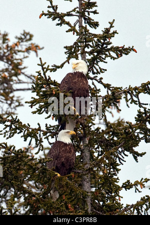 A pair of nesting bald eagles (Haliaeetus leucocephalus) perch in a tree in Alaska. - Stock Photo