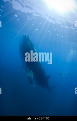 A whale shark feeds on plankton 35 miles off the coast of Holbox Mexico. - Stock Photo