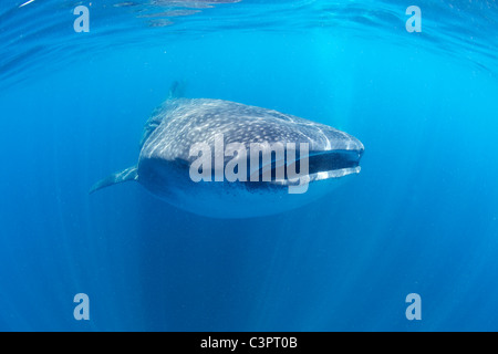 Whale shark in Holbox, Mexico. - Stock Photo