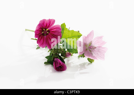 Common mallow on white background, close up - Stock Photo