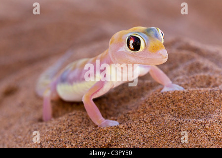 Africa, Namibia, Palmato gecko in namib desert - Stock Photo