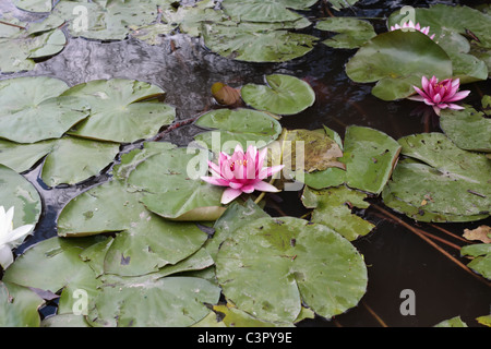 Pink Water Lilies in the Pond - Stock Photo