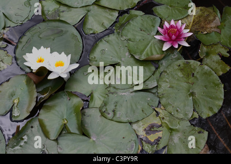 Pink and Sun Burnt White Lotus Flowers - Stock Photo