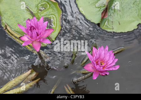 Purple Lotus Flower in the Pond - Stock Photo