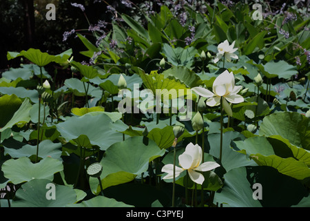 White Lotus Flowers Blooming in the Pond - Stock Photo