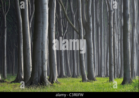 Mecklenburg-Western Pomerania, Beech tree forest - Stock Photo