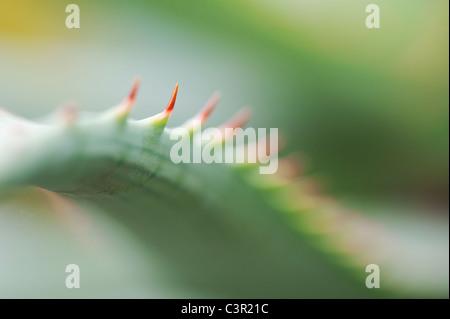 Aloe glauca 'blue aloe' plant abstract - Stock Photo