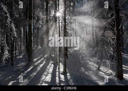 Sunlight streaming through winter forest - Stock Photo
