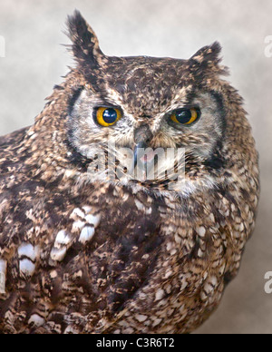 African Spotted Eagle Owl (bubo africanus) - Stock Photo