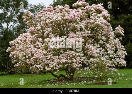 Saucer Magnolia, Magnolia soulangeana, Magnoliaceae. - Stock Photo