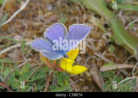 Male Common Blue Butterfly feeding on Birds foot trefoil - Stock Photo